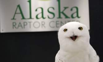Alaska raptor center Snowy owl Qigiq 2017