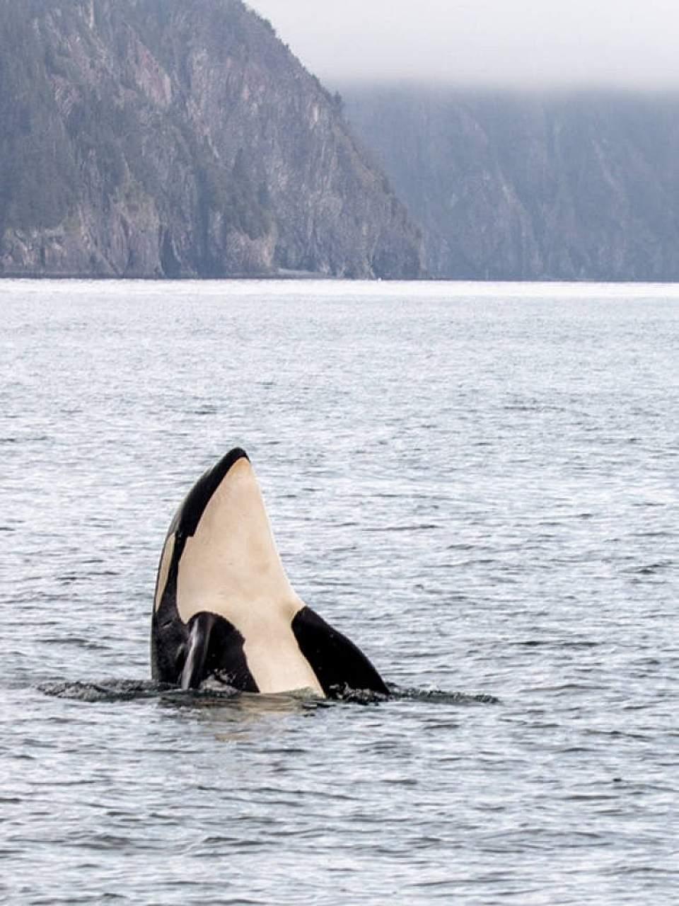 Orca Whale breaching in seward Alaska