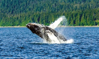 Whale watching adventure whale1 Alaska Travel Adventures