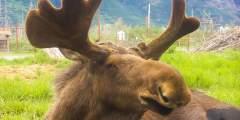 AK Wildlife Conservation Ctr BG Moose2019