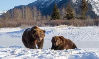 2017 AWCC Bear Brown Winter 102019