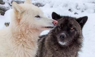 2017 AWCC Wolf Winter 352019