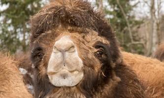 Alaska zoo 2016 john gomes B Camel2019
