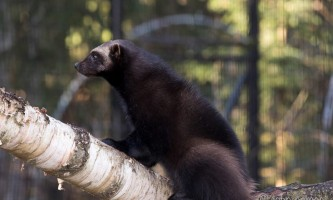 Alaska zoo 2016 john gomes Wolverine22019