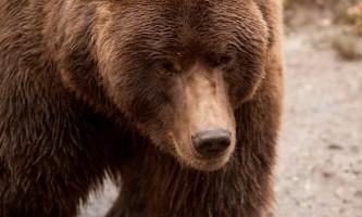 Brown Bears 674719117 img 66312019