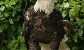 Alaska zoo 2016 john gomes Bald Eagle22019
