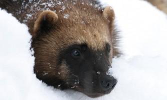 Alaska zoo 2016 john gomes Wolverine2019
