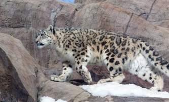 Snow Leopard 816185456 mar21 38892019