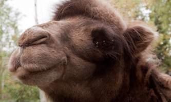 Alaska zoo 2016 john gomes B Camel22019