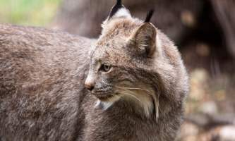 Alaska zoo 2016 john gomes Canada Lynx2019