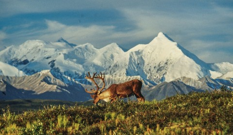 A tour on the Park Road is the best chance to see Alaska's Big 5; bears, moose, caribou, dall sheep, and wolves.