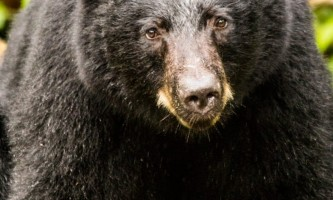 Alaska black bear wildlife exploration ketchikan Well How Do You Do alaska rainforest sanctuary bear country wildlife expedition
