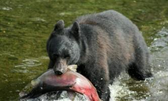 Alaska black bear wildlife exploration ketchikan Bear with Salmon alaska rainforest sanctuary bear country wildlife expedition
