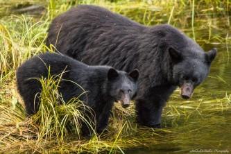 Alaska black bear wildlife exploration ketchikan Mamma and her Cub alaska rainforest sanctuary bear country wildlife expedition