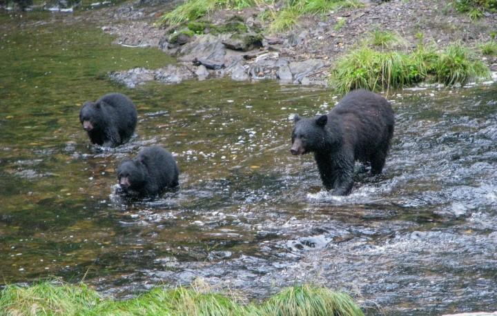 Three black bears fishing for salmon in Eagle Creek.