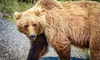 Classic denali experience 140 grizzy denali park 857 0 Original