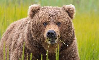 Discovery voyages bears and glaciersbrown bear