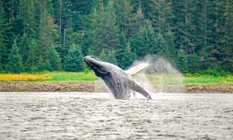 Glacier Wind Charters breaching humpback 2 2