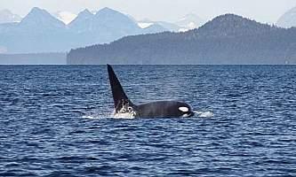 Glacier Wind Charters bull orca