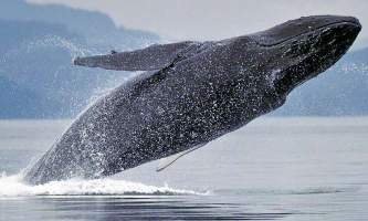 Glacier Wind Charters humpback breeching alaska