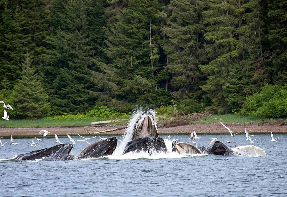 You may experience the very cool sight of whales bubble net feeding -- where a group of whales create a net of bubbles to corral fish and keep them from escaping so several whales can feed at once!