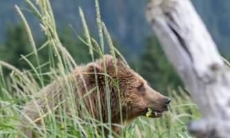 Alaska bear camp DANTE RAUL APAZA