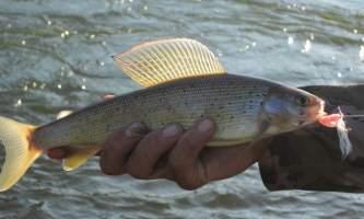 Hell bent fishing charters 2013 June 25 Deception Grayling2019