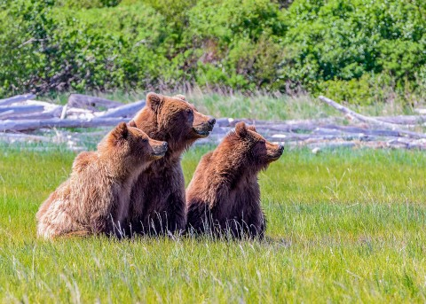 Three bears sitting in the grass.