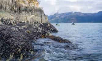 Alaska Aialik Wildlife Kayaking0018 Aialik Glacier Wildlife viewing and Kayaking