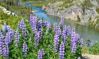 Midnight Sun Excursions lupine and river r2019