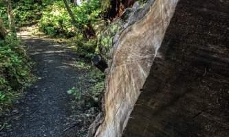 mindfulness-rainforest-treks-ketchikan-Log-Trail