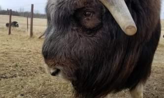 20190406 094435 alaska alaska musk ox farm