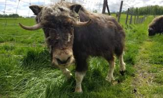 20190531 140527 alaska alaska musk ox farm