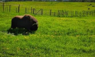 IMG 20180627 154519 026 alaska alaska musk ox farm