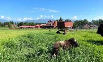 IMG 8635 2 alaska alaska musk ox farm