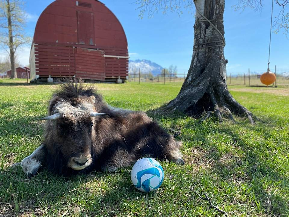 A baby musk ox at the musk ox farm