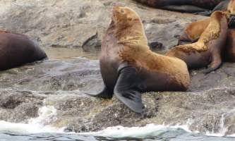 Alaska whittier North Pacific Expeditions Egg Rocks Steller Sea Lion north pacific expeditions