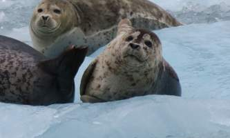 Alaska whittier North Pacific Expeditions Northwestern glacier seals looking at camera north pacific expeditions
