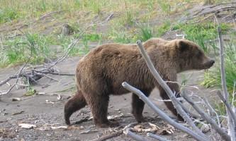 Bear viewing natron bear42019