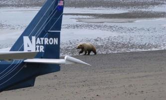 Bear viewing natron bear62019