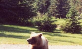 Bear viewing natron bear22019