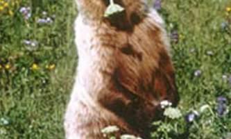 Bear viewing natron bear12019