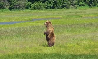 Bear viewing natron bear52019