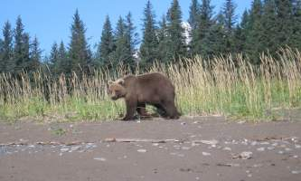 Bear viewing natron bear72019