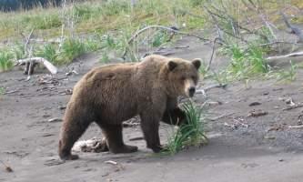 Bear viewing natron bear82019