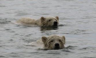 Polar Bear Expedition Polar Bear Expedition Kaktovik 12019