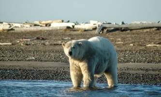 Polar Bear Expedition Polar Bear Expedition Kaktovik 102019