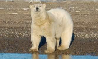 Polar Bear Expedition Polar Bear Expedition Kaktovik 32019
