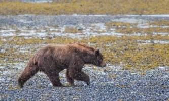 Pack Creek Bear Tours pack malebeach2019