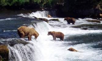 Alaska Brooks Falls Bear Cam Pratt Museum